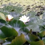 Photo of lily pads in a pond